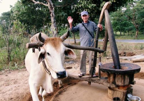 牛と一仕事